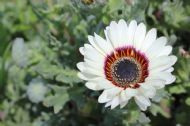 Cape Daisy White 50 Seeds- Blooms all Summer&Autumn
